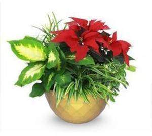 1.5 Gallon Poinsettia and Foliage Planter